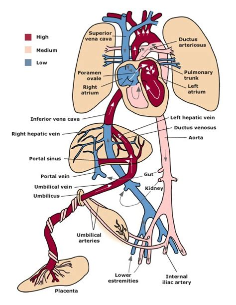 fetal blood flow picture 9
