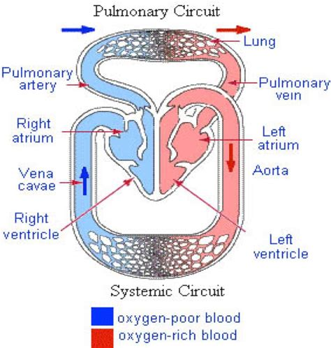 fl0w chart on the process of blood circulation picture 7