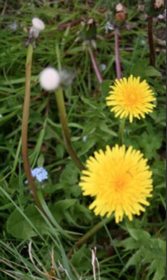dandelion to cleanse the liver picture 6
