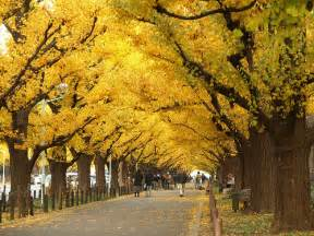 ginkgo bush picture 11