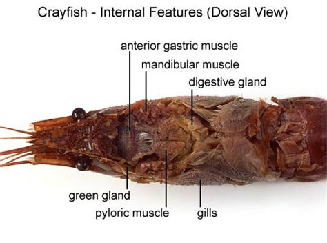 cray chitnous teeth picture 3