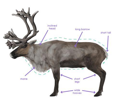 caribou skin picture 2