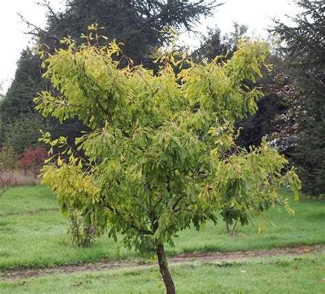 ginkgo tree facts picture 3