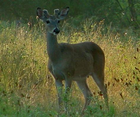 does deer antler velvet make your penis grow picture 8