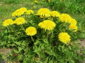 dandelion root effects in males picture 6