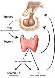 tsh thyroid picture 5