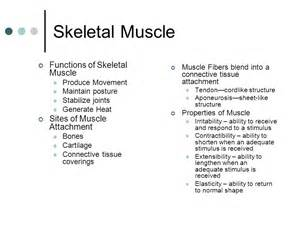 functions of muscle system picture 19