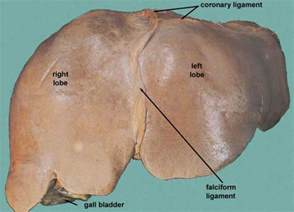 left edge of liver pain picture 1