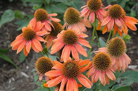 echinacea orange picture 9