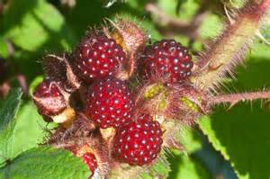wild red raspberries picture 10