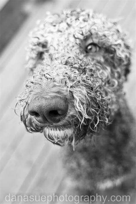 ear infections poodle yeast picture 7
