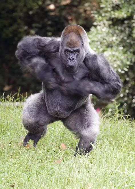 average size of a silverback gorillas penis picture 2