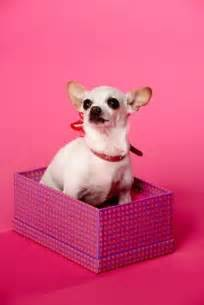 chihuahua diet picture 15