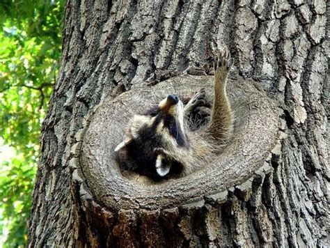 does a racoon sleep in a tree picture 4