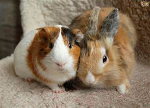 breast actives guinea pig picture 6