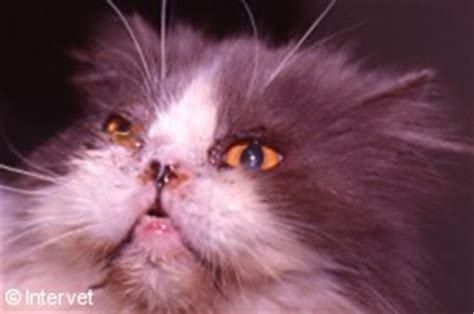 clinical signs of feline herpesvirus fcv picture 12