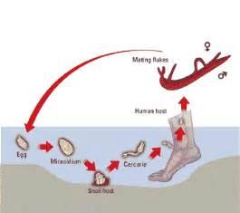 flukes in bladder picture 11