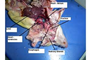 anatomy rat liver picture 7