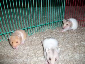 short hair hamsters picture 19