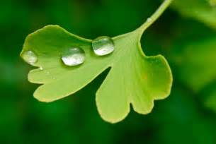 ginkgo biloba extract picture 7