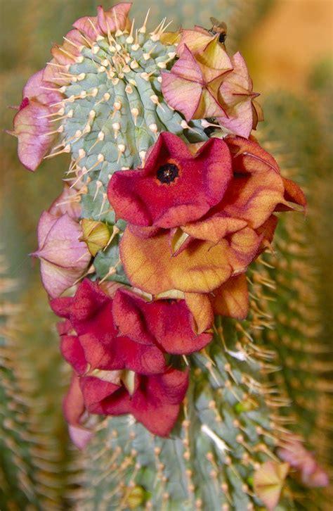 hoodia gordonii seeds picture 11