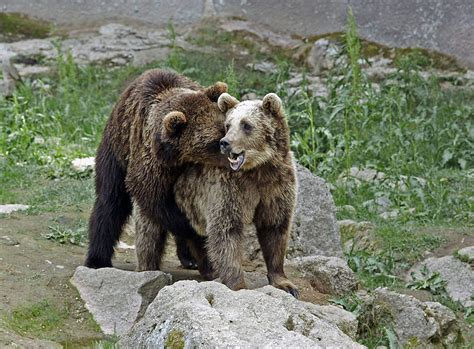 - oral bear men peperonity picture 6