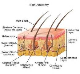dermal layer of skin picture 6