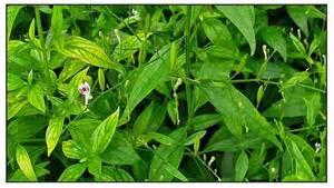 herbal untuk liver picture 6