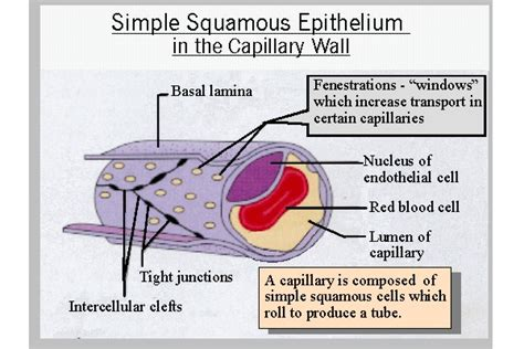 facts about the capillaries picture 3