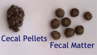 small pellet like fecal matter picture 2