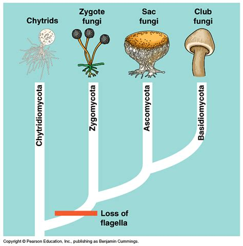 four types of fungi picture 1