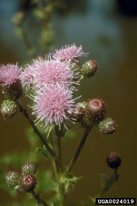 canada thistle picture 18