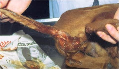 dogs parvovirus intestinal viruses picture 15
