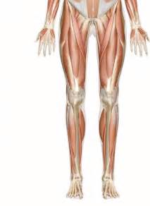 leg muscle illustration picture 15
