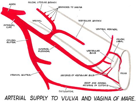 vagina increased blood flow cayenne picture 9