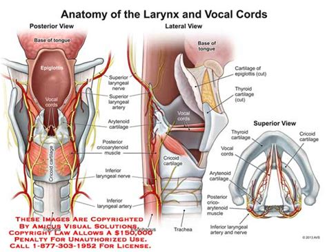 functions of thyroid gland picture 19