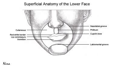 facial anatomy lips picture 18