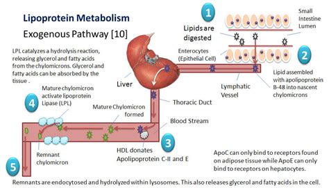 the process of digestion and metabolism of a picture 7