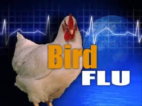 bird flu muscle disease picture 11