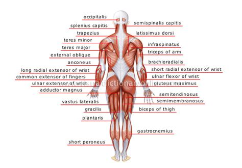 lumbar muscle picture 6