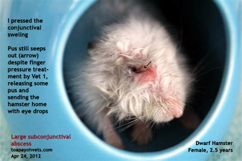 eye abscess in rabbit natural treatment picture 8