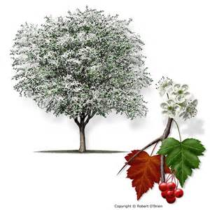 hawthorn tree identification picture 6