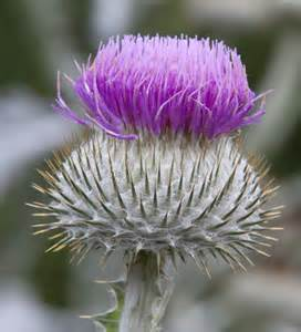 thistle flower picture 9
