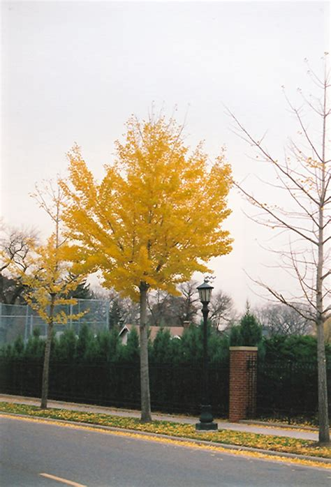 autumn gold ginkgo picture 11