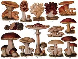 edible fungi picture 1
