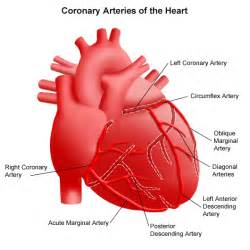 heart arteries diagram picture 13