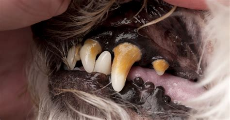 cleaning dogs teeth picture 5