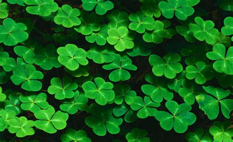 clover picture 11