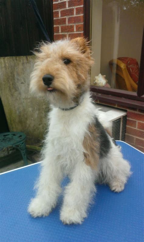 wire hair fox terrier rescue picture 13