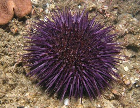 cholesterol level of sea urchin picture 1